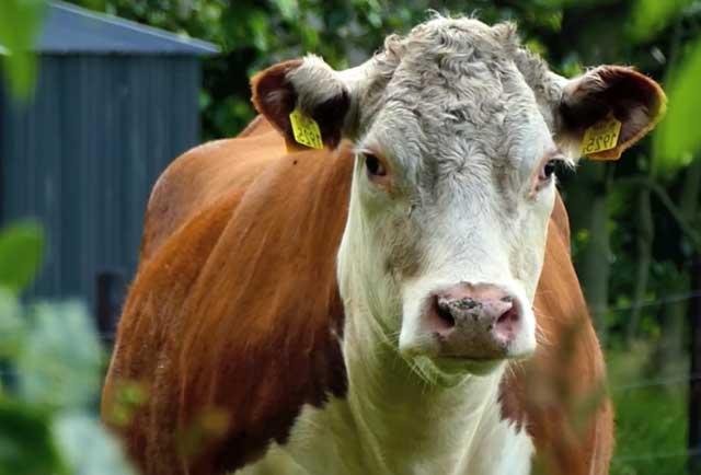 Яловая корова: что это значит, причины и меры борьбы