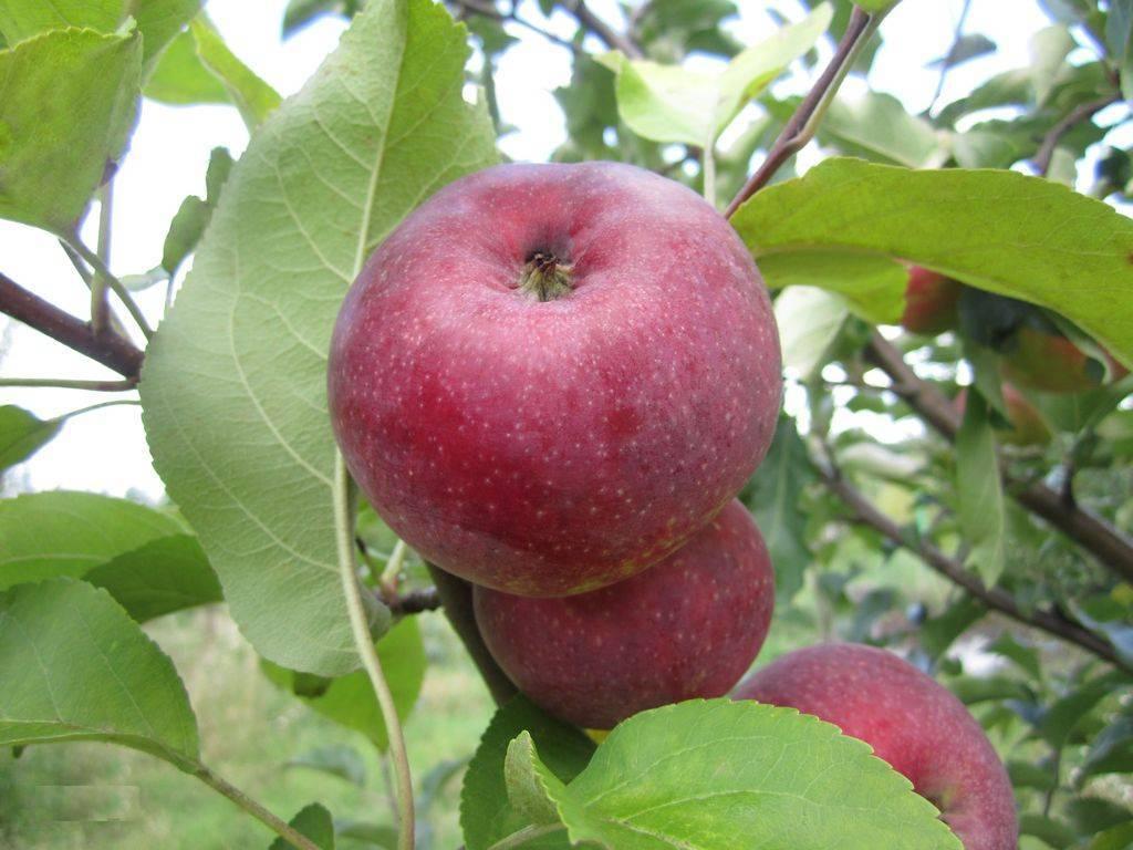 Яблоня «лобо»: описание сорта, фото и отзывы