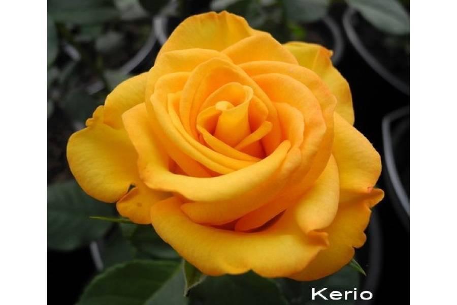 Роза керио: описание и характеристики сорта, выращивание и использование в дизайне