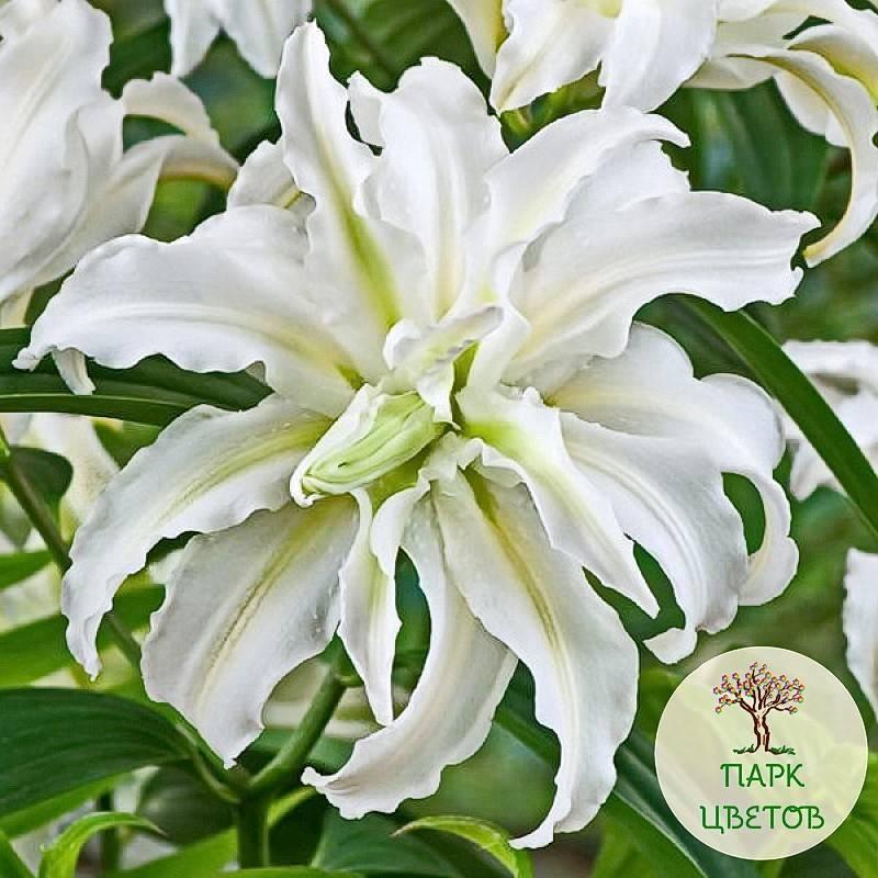 Лилии от-гибриды (43 фото): зимостойкость сортов. описание лучших лилий «фризо» и «он стейдж», «робина» и «истерн мун». размножение