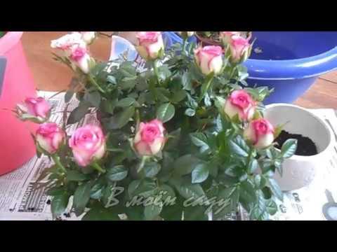 Особенности выращивания розы кордана в домашних условиях и в саду
