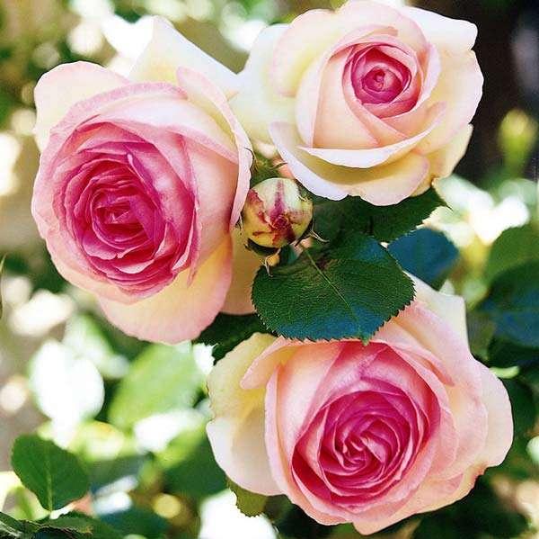 Сорта ароматных роз с фото и описанием