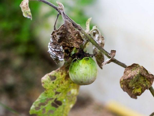 Что делать, если пожелтели листья у рассады баклажан, чем обработать