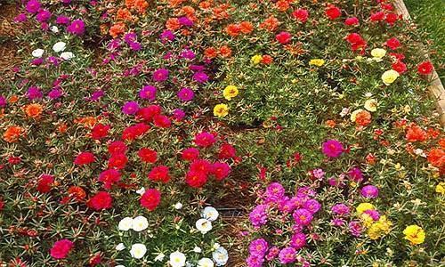 Как выращивать портулак крупноцветковый: правила посадки и ухода за растением