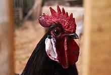 Андалузская голубая порода кур – описание, фото и видео - общая информация - 2020