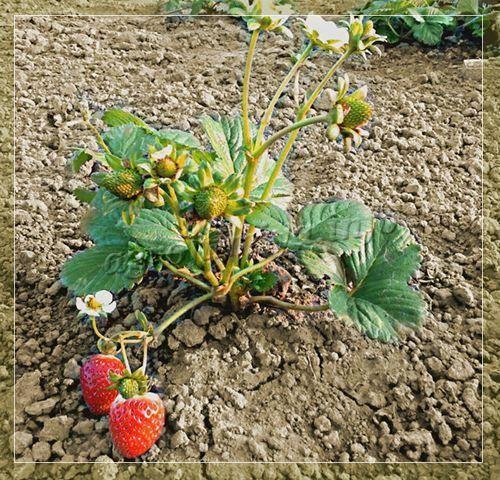 Удобрение клубники: подкормки осенью и весной