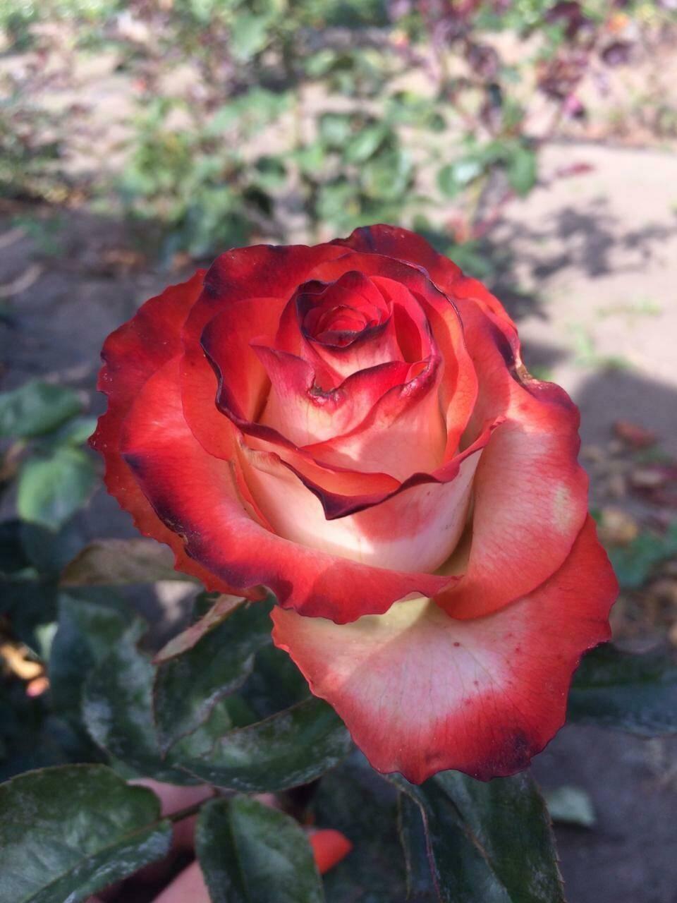 Роза прейри джой (prairie joy) — характеристики и описание куста