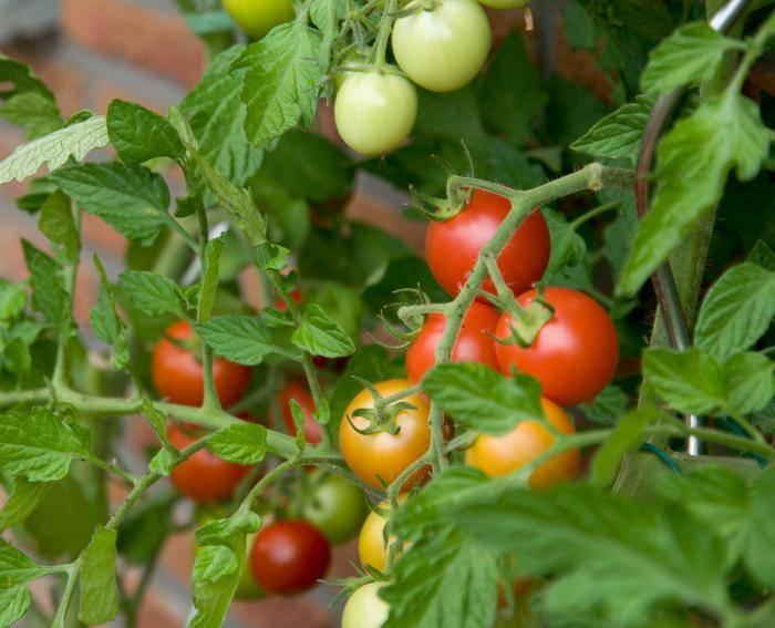 Как вырастить помидоры: агротехника возделывания хороших томатов правильно от а до я, а также секреты, как лучше осуществлять уход для получения большого урожая
