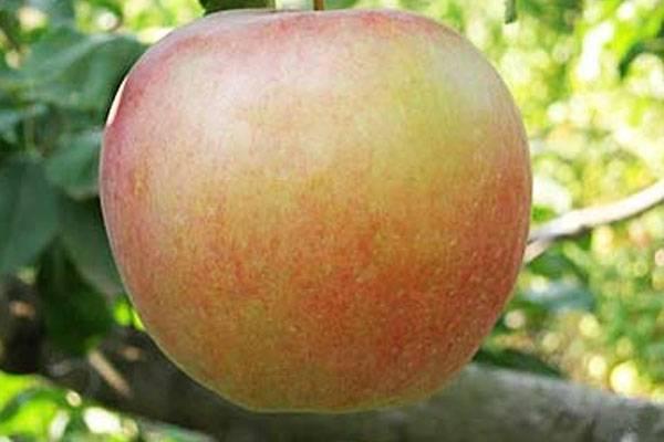 Особенности выращивания яблони сорта «лигол»