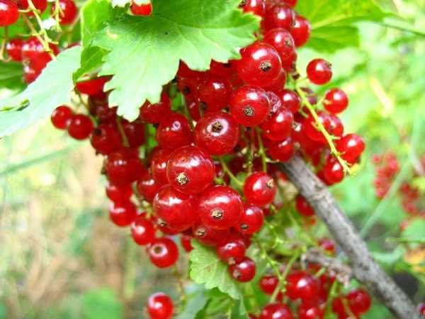 Красная смородина розита – яркие и полезные ягоды в вашем саду