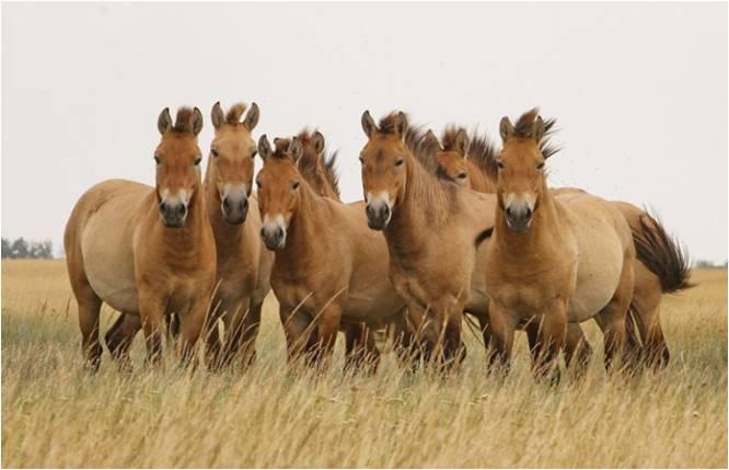 Лошадь пржевальского: краткое описание, особенности и интересные факты