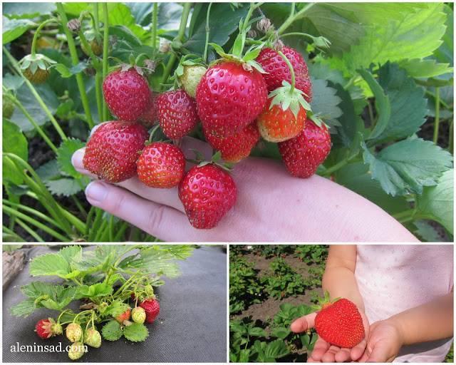 Выращивание клубники   как правильно выращивается клубника разных сортов (85 фото)