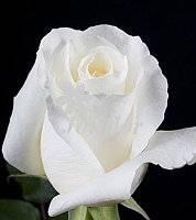 Описание и выращивание роз группы грандифлора: 25 сортов с фото