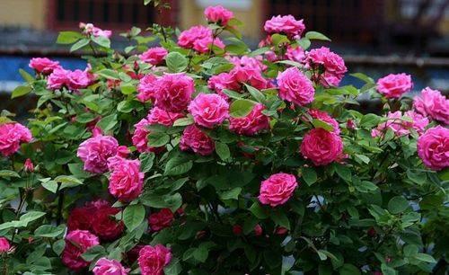 4 чудодейственных рецепта, чем подкормить розы в августе. | красивый дом и сад
