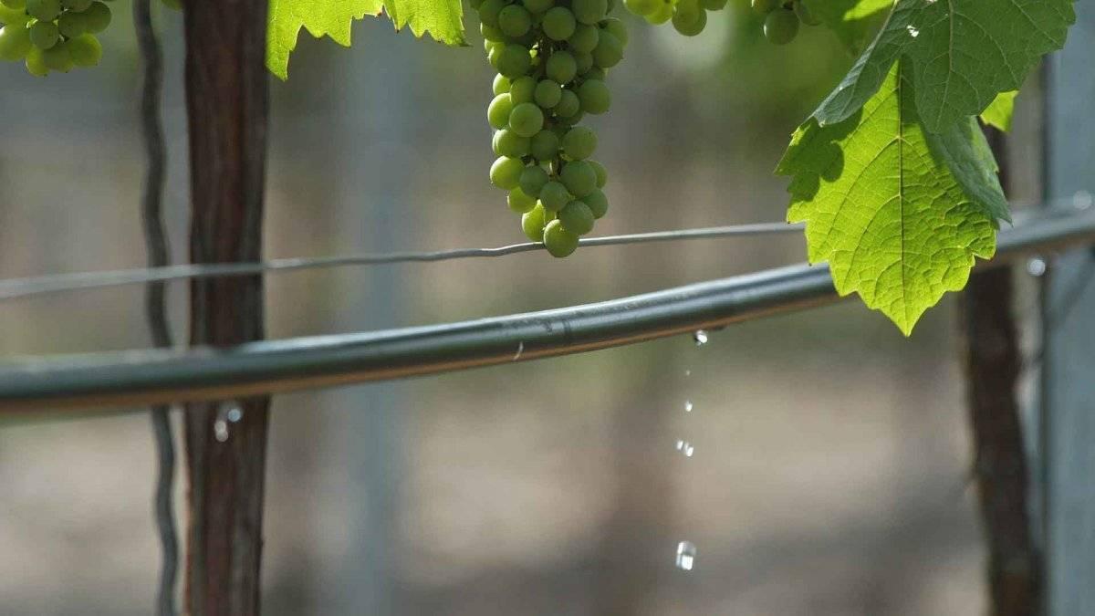 Почему осыпается завязь на винограде, что делать