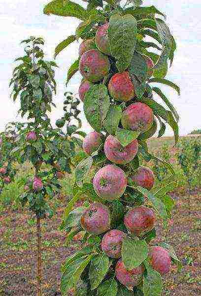 Колоновидная яблоня: сорта, выращивание, уход, отзывы и фото