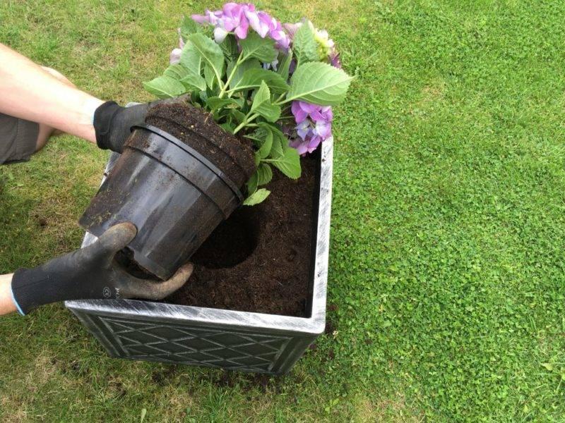 Чем подкислить почву для гортензии?