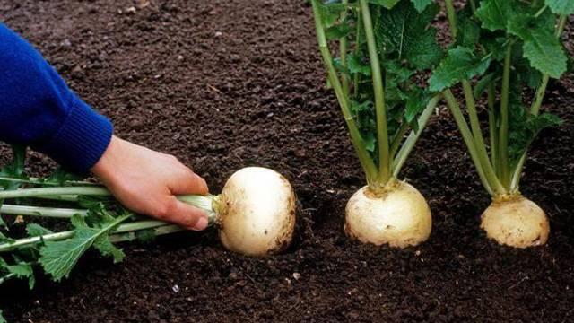 Когда сажать репу семенами в открытый грунт, дома, в теплицы: всегда ли сеять весной, каковы сроки выращивания в подмосковье, на урале и в сибири, а также уход