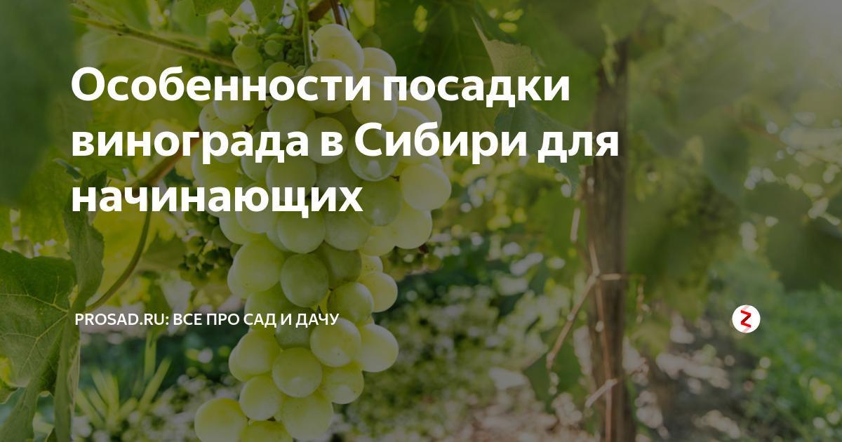 Обзор лучших сортов винограда и особенности посадки в сибири