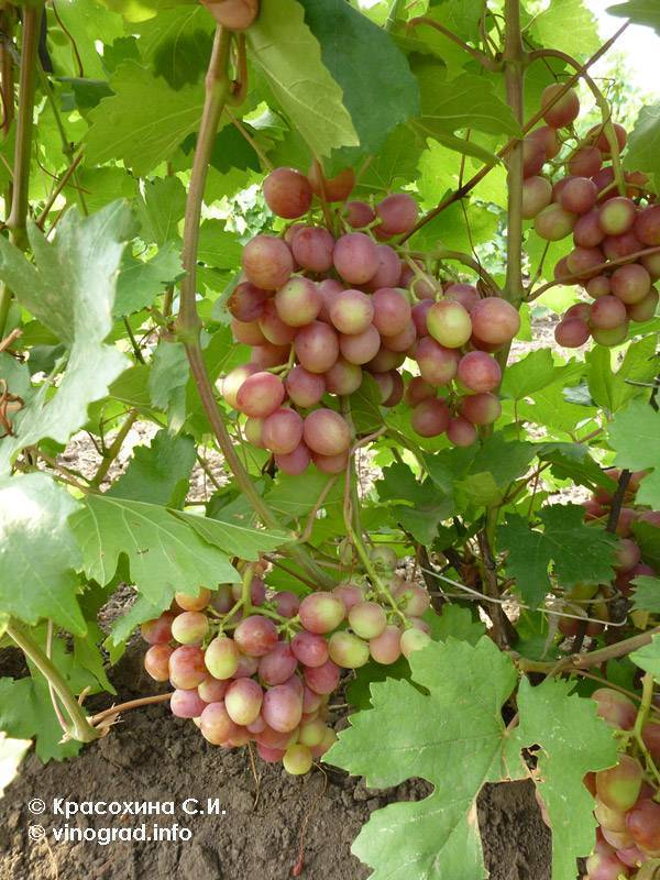 Виноград гурман ранний (новочеркасский красный)
