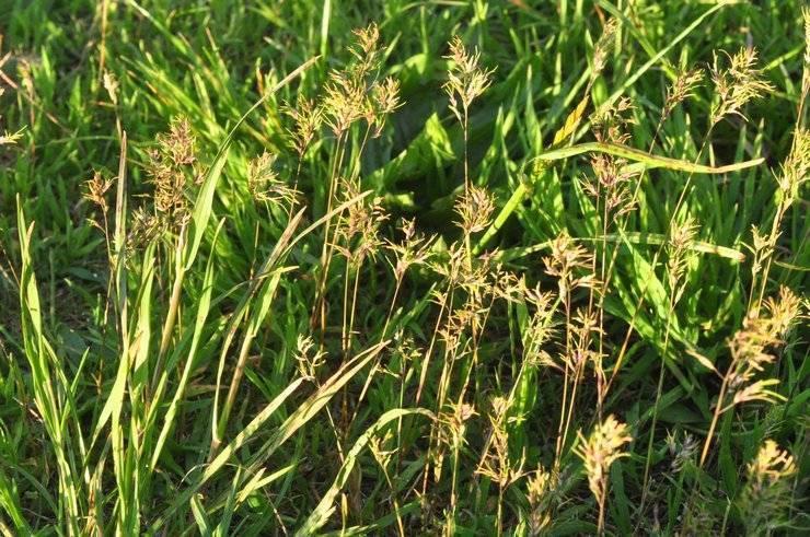 Мятлик луговой как газонная трава: плюсы и минусы, посадка