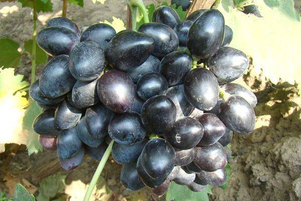Виноград велика: описание сорта, его особенности и характеристики, заболевания и борьба с вредителями, фото