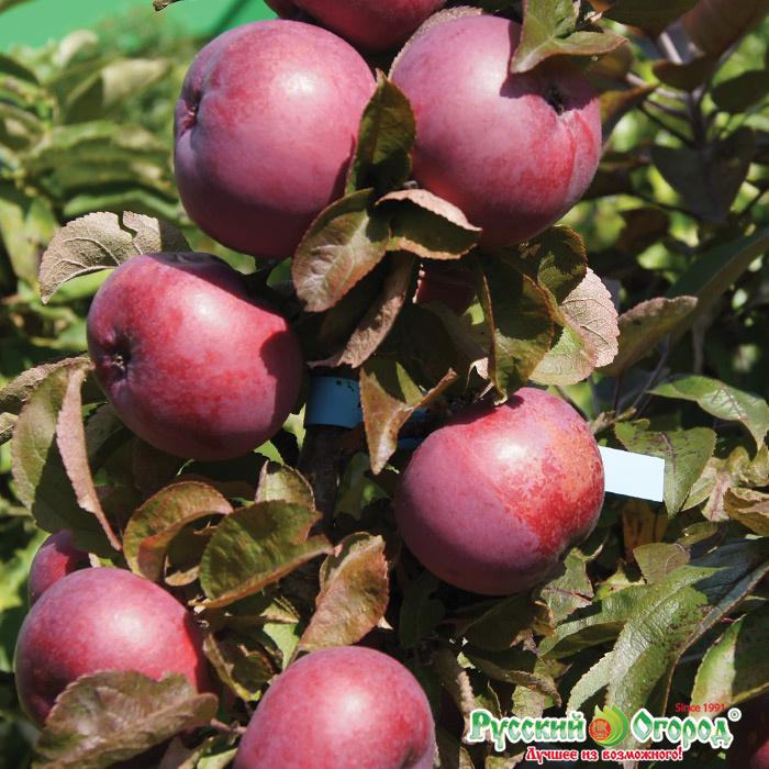 Сортовая колоновидная яблоня останкино