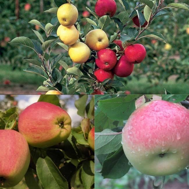 Описание сорта колоновидной яблони есения
