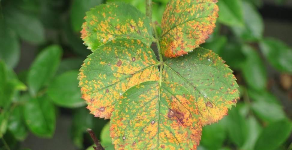 Как лечить ржавчину на листьях груши, яблони, смородины, клубники, огурцов. | красивый дом и сад