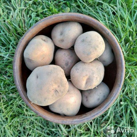 Картофель синеглазка — любимый народом сорт
