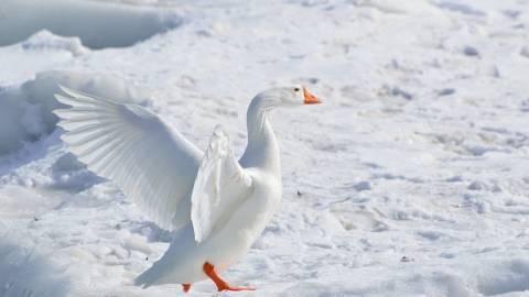 Как содержать тулузских гусей: описание породы