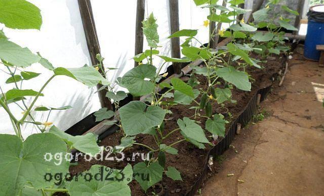 Удобрение огурцов, подкормка в теплице и грунте