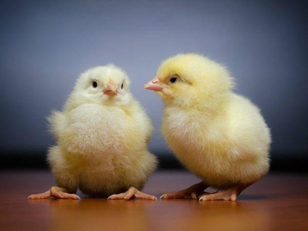 Как лечить воспаление зоба у кур