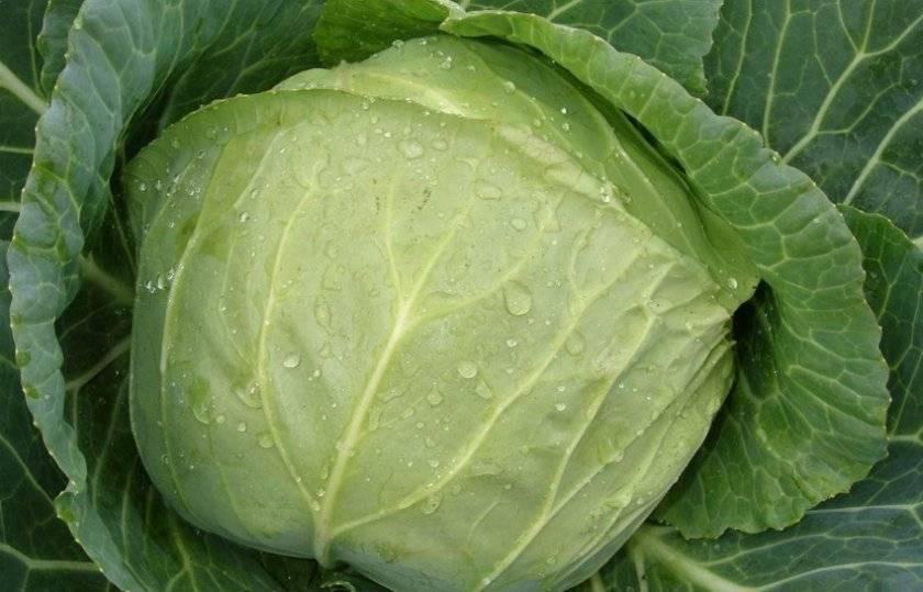 Описание сорта капусты харьковская зимняя, фото, советы по выращиванию, защите и использованию в кулинарии