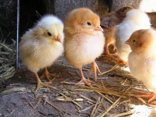 Рацион цыплят с первых дней: все от а до я