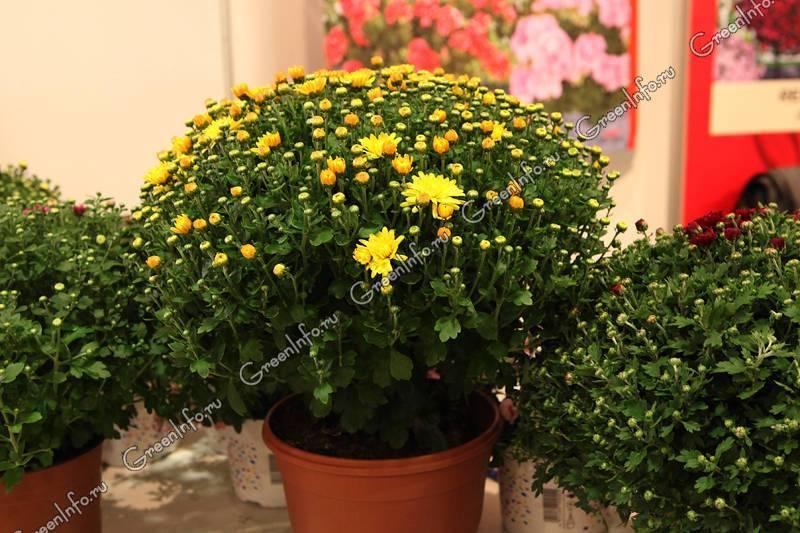 Хризантема индийская — характеристики сортов и выращивание из смеси семян