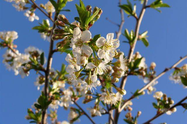 Почему с вишни осыпается завязь, опадают ягоды, плоды, чем подкормить
