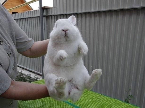 Как определить пол кролика: учимся отличать кролика мальчика от девочки