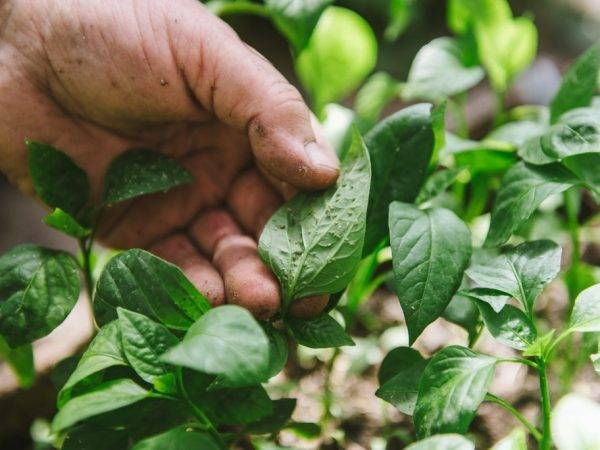 Вредители баклажанов – как выявлять и бороться