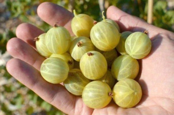 Крыжовник «берилл»: урожайный сорт с высоким иммунитетом