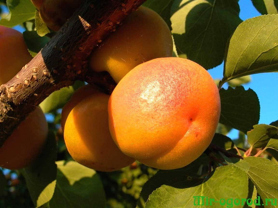Чем подкормить абрикос весной