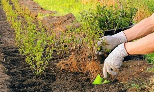 Как правильно посадить смородину весной саженцами: