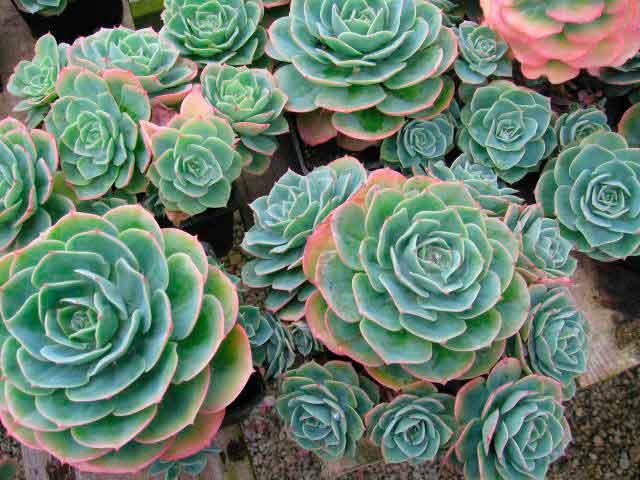 Молодило — каменная роза посадка, уход, фото цветов