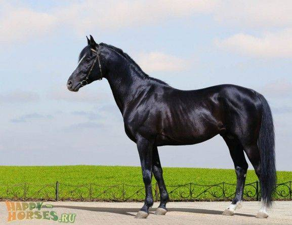 Особенности тракенеской породы лошадей