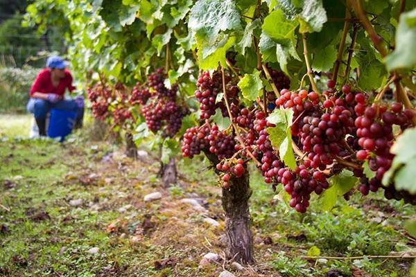 Описание сорта винограда кишмиш рилайнс пинк сидлис: фото и отзывы | vinograd-loza