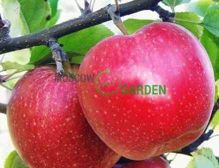Популярная яблоня мельба: описание и фото