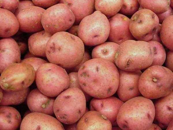 """Картофель """"рамона"""": описание сорта, характеристики, фото, советы по уходу"""
