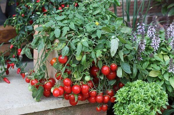 Как правильно ухаживать за помидорами черри и какие разновидности бывают?