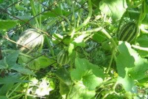 Особенности выращивания вьетнамской дыни