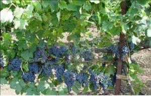 Виноград саперави — 5 советов по посадке и описание особенностей сорта